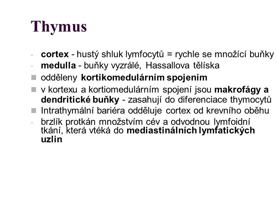 Thymus cortex - hustý shluk lymfocytů = rychle se množící buňky