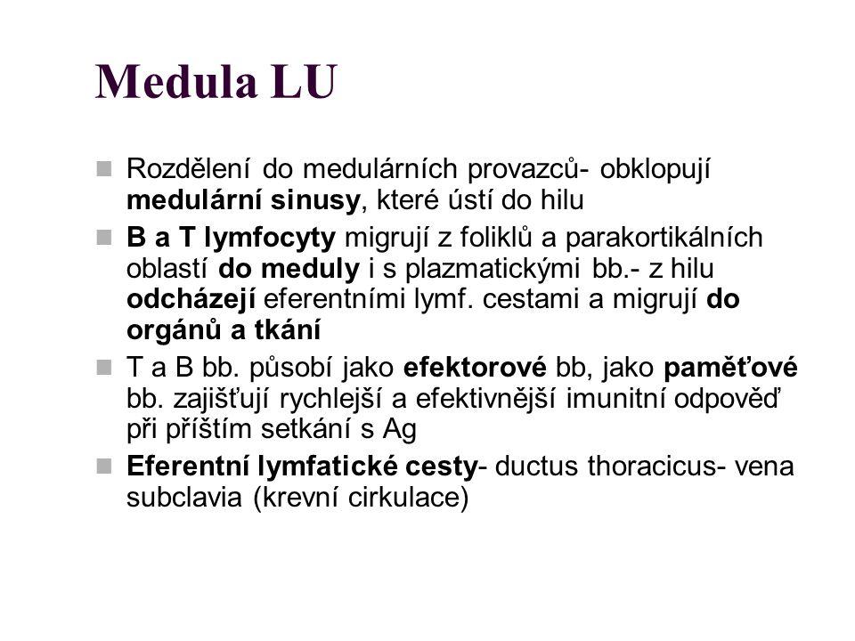 Medula LU Rozdělení do medulárních provazců- obklopují medulární sinusy, které ústí do hilu.