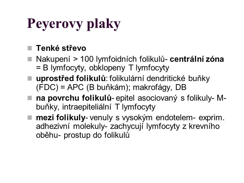 Peyerovy plaky Tenké střevo
