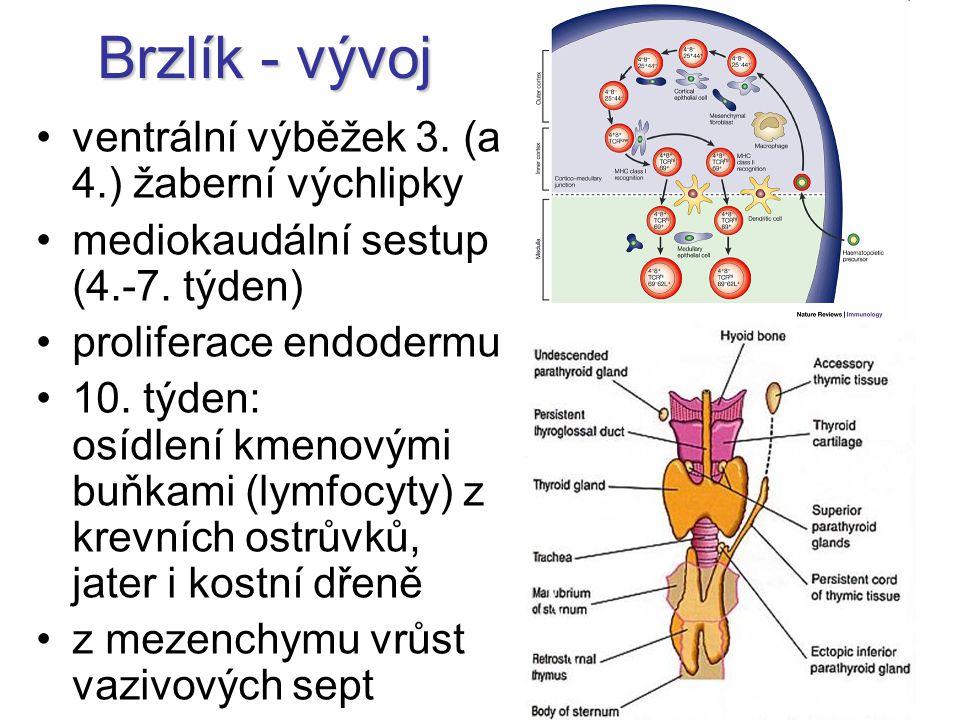 Brzlík - vývoj ventrální výběžek 3. (a 4.) žaberní výchlipky