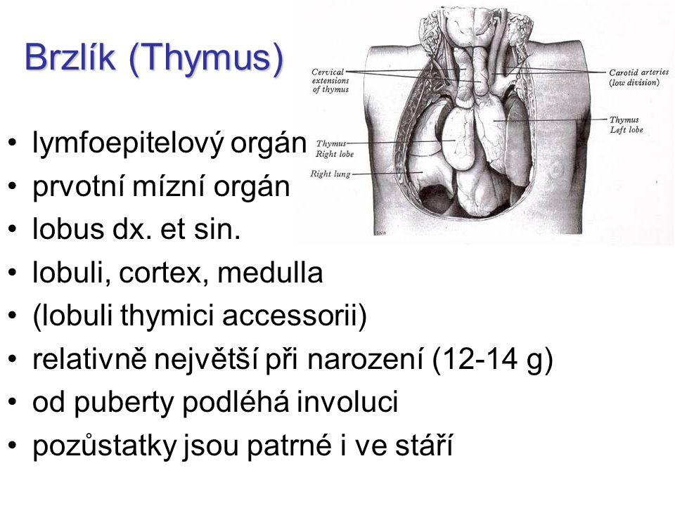 Brzlík (Thymus) lymfoepitelový orgán prvotní mízní orgán