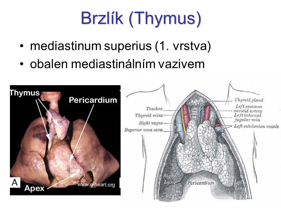 Brzlík (Thymus) mediastinum superius (1. vrstva)