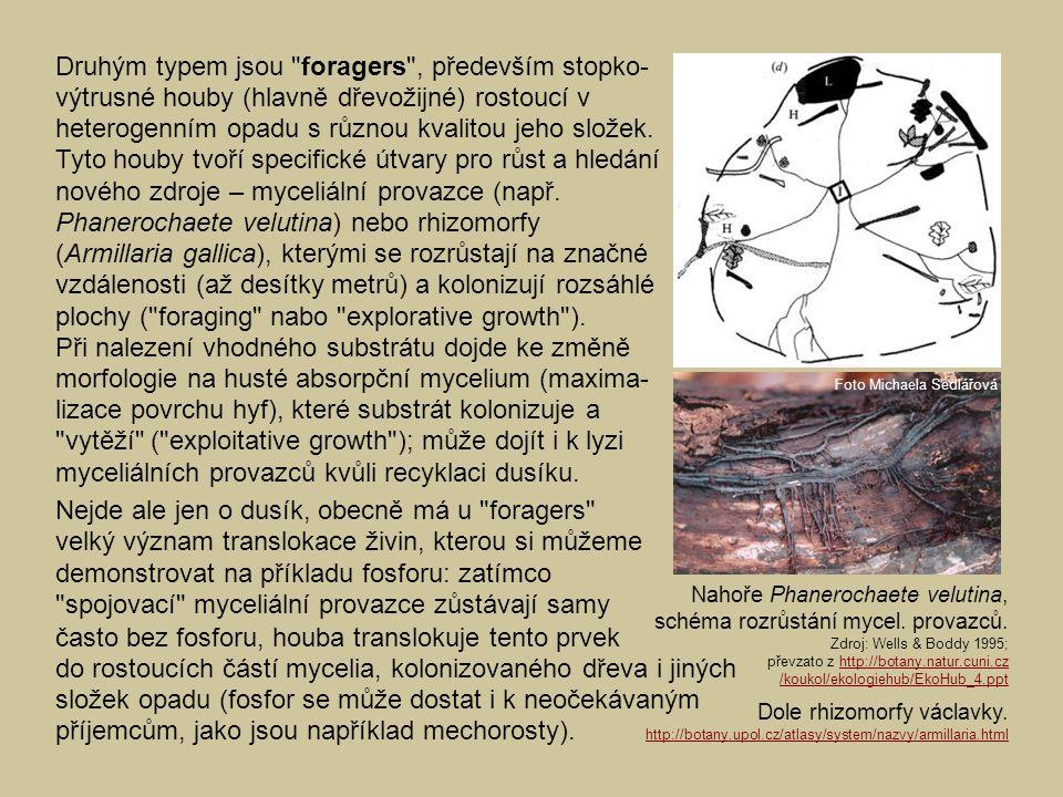 Druhým typem jsou foragers , především stopko-výtrusné houby (hlavně dřevožijné) rostoucí v heterogenním opadu s různou kvalitou jeho složek. Tyto houby tvoří specifické útvary pro růst a hledání nového zdroje – myceliální provazce (např. Phanerochaete velutina) nebo rhizomorfy (Armillaria gallica), kterými se rozrůstají na značné vzdálenosti (až desítky metrů) a kolonizují rozsáhlé plochy ( foraging nabo explorative growth ). Při nalezení vhodného substrátu dojde ke změně morfologie na husté absorpční mycelium (maxima-lizace povrchu hyf), které substrát kolonizuje a vytěží ( exploitative growth ); může dojít i k lyzi myceliálních provazců kvůli recyklaci dusíku.