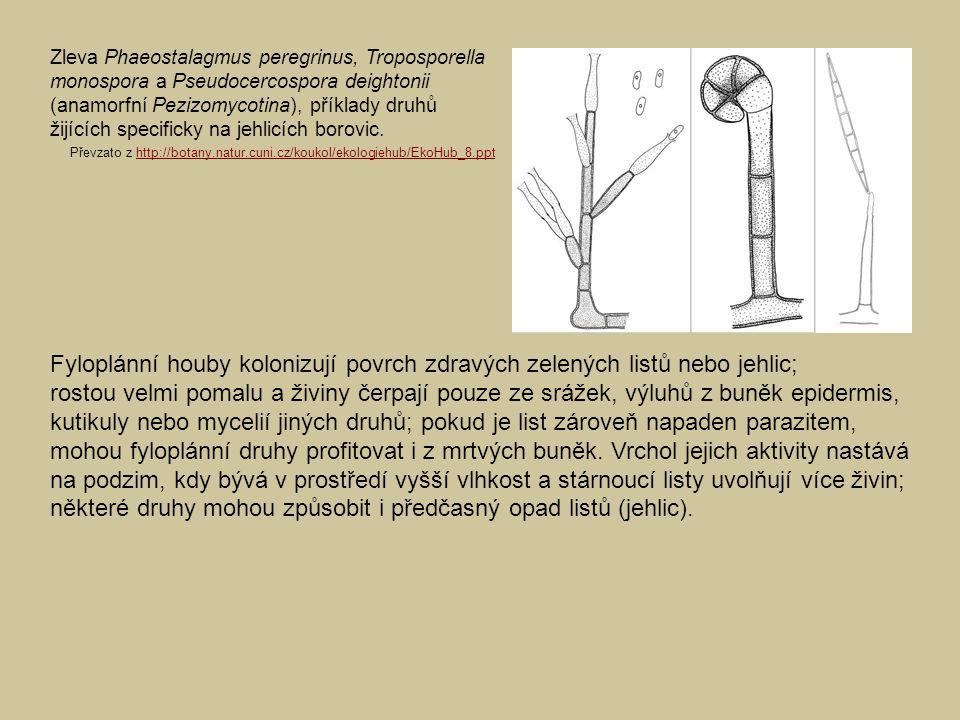 Zleva Phaeostalagmus peregrinus, Troposporella monospora a Pseudocercospora deightonii (anamorfní Pezizomycotina), příklady druhů žijících specificky na jehlicích borovic.