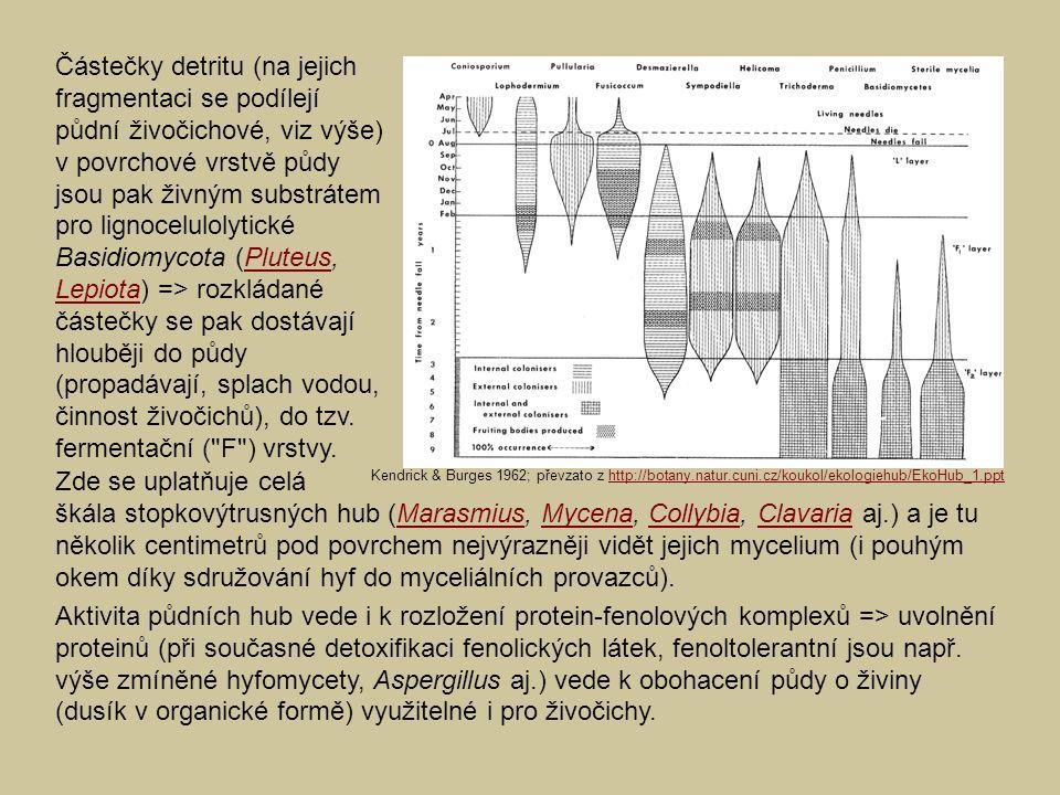 Částečky detritu (na jejich fragmentaci se podílejí půdní živočichové, viz výše) v povrchové vrstvě půdy jsou pak živným substrátem pro lignocelulolytické Basidiomycota (Pluteus, Lepiota) => rozkládané částečky se pak dostávají hlouběji do půdy (propadávají, splach vodou, činnost živočichů), do tzv. fermentační ( F ) vrstvy.