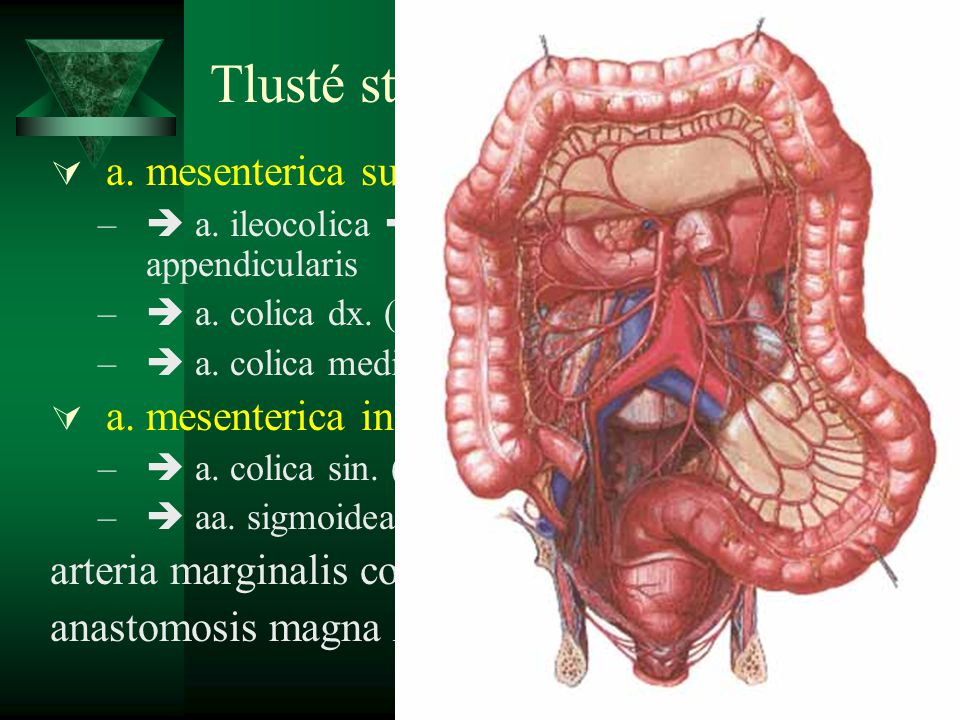 Tlusté střevo - tepny a. mesenterica sup. a. mesenterica inf.