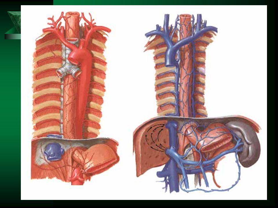 Jícen – cévní zásobení Tepny: Žíly: vv. oesophageales