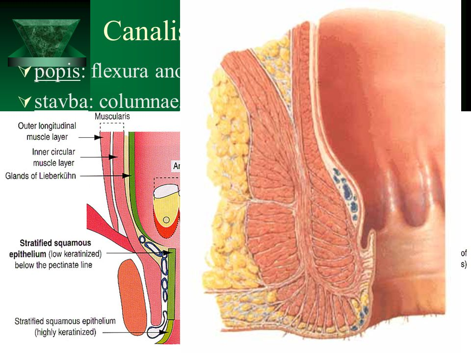 Canalis analis popis: flexura anorectalis = perinealis, anus