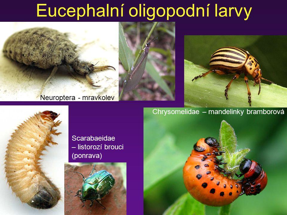 Eucephalní oligopodní larvy