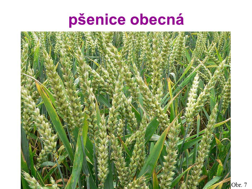 pšenice obecná Obr. 7