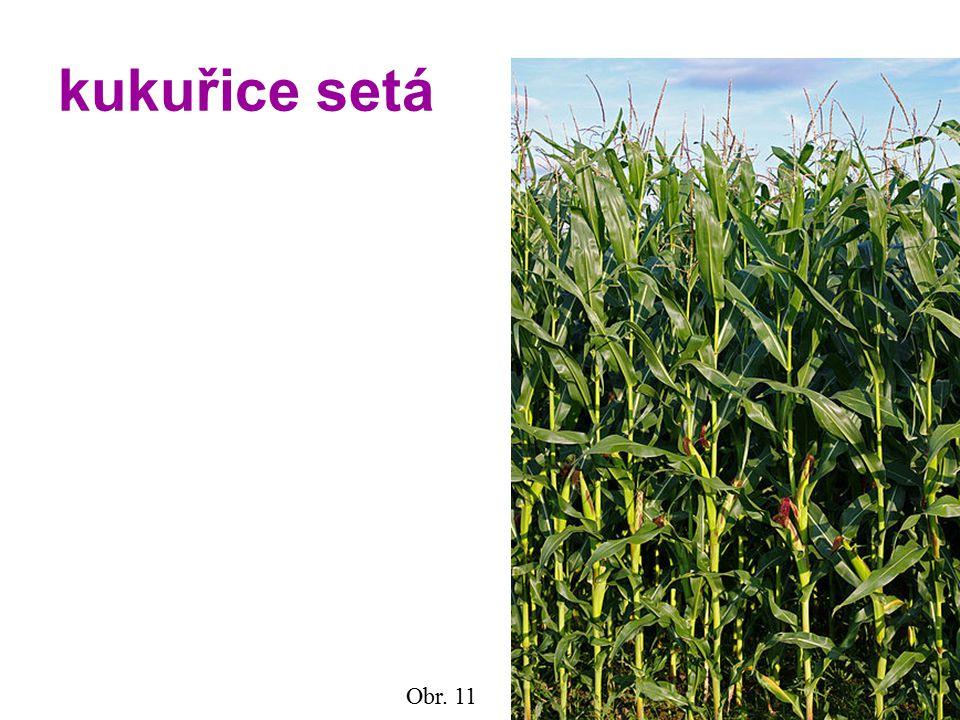 kukuřice setá Obr. 11