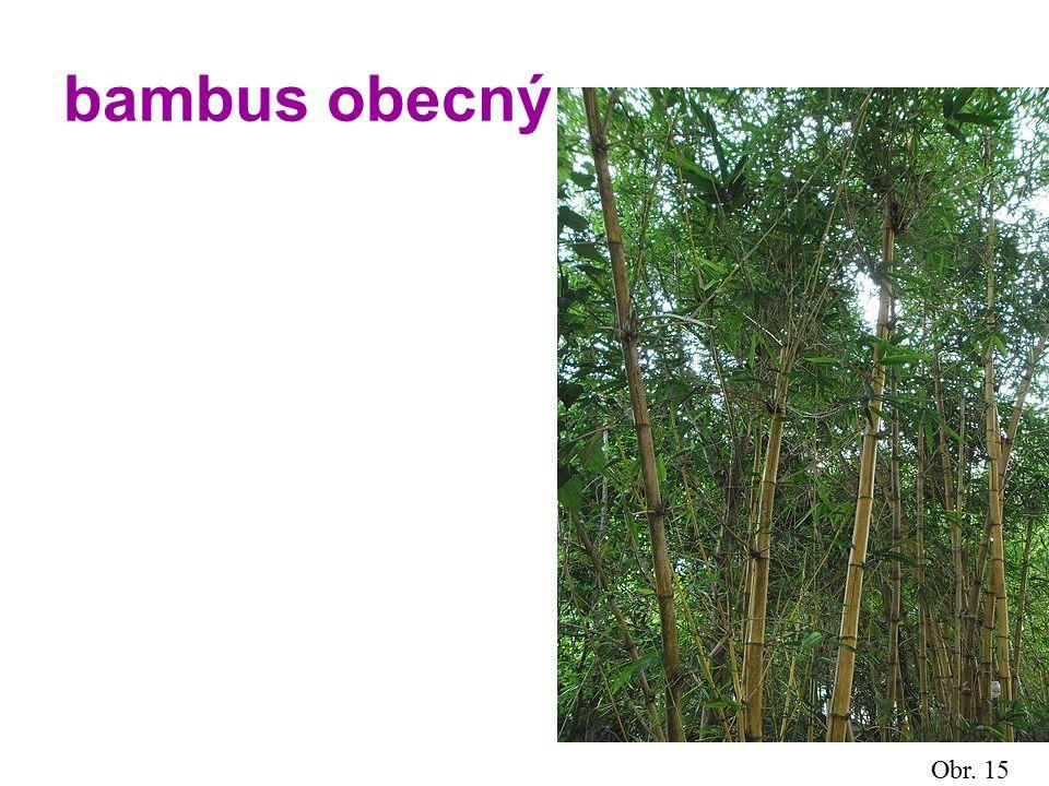 bambus obecný Obr. 15