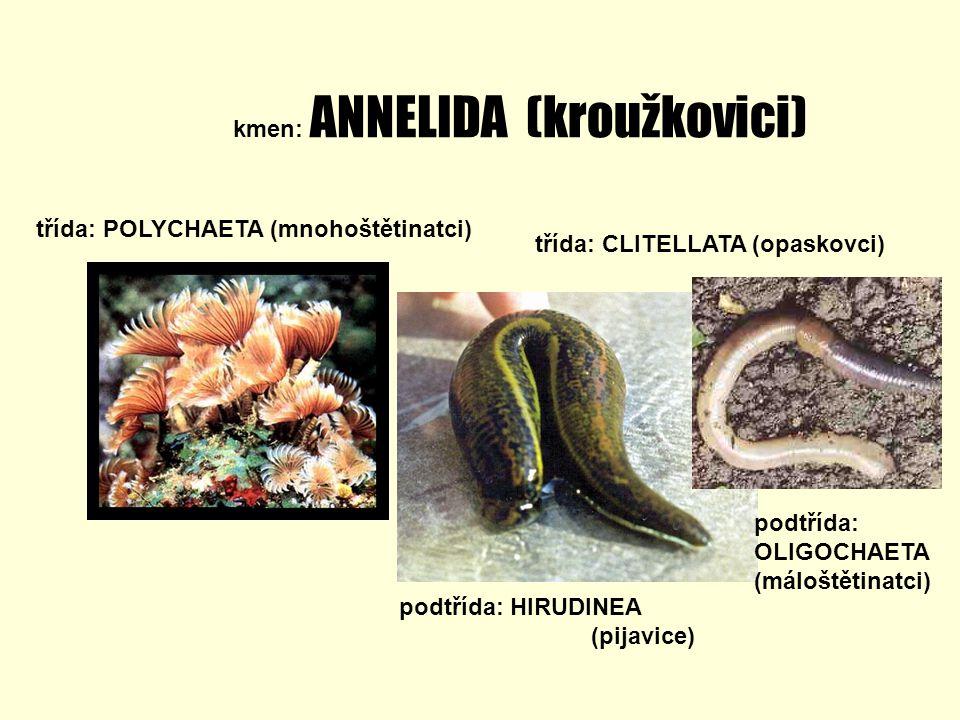 kmen: ANNELIDA (kroužkovici)