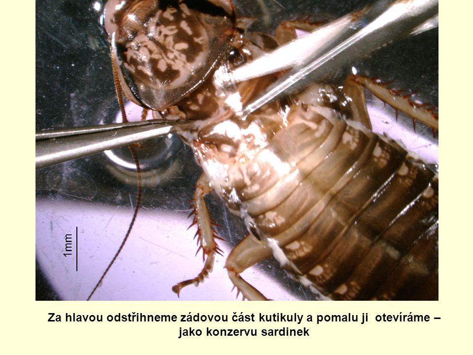 Za hlavou odstřihneme zádovou část kutikuly a pomalu ji otevíráme – jako konzervu sardinek
