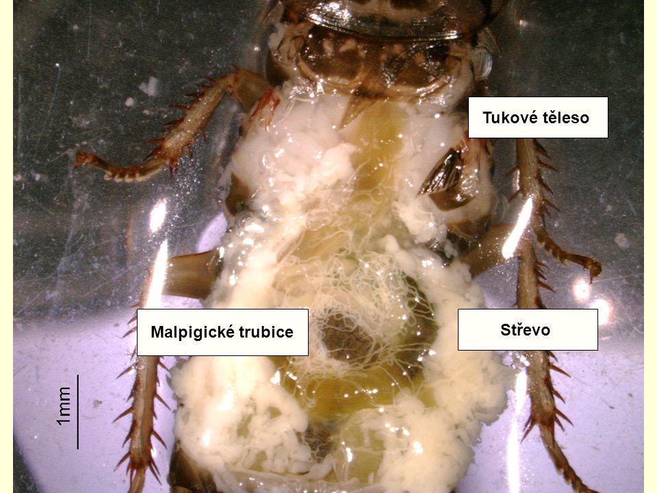 Tukové těleso Malpigické trubice Střevo