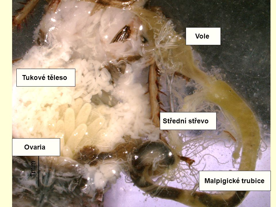 Vole Tukové těleso Střední střevo Ovaria Malpigické trubice