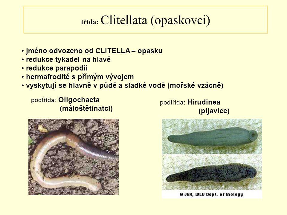 třída: Clitellata (opaskovci)