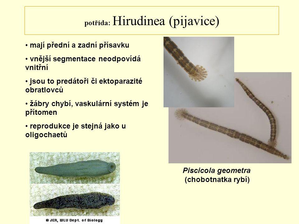 potřída: Hirudinea (pijavice)