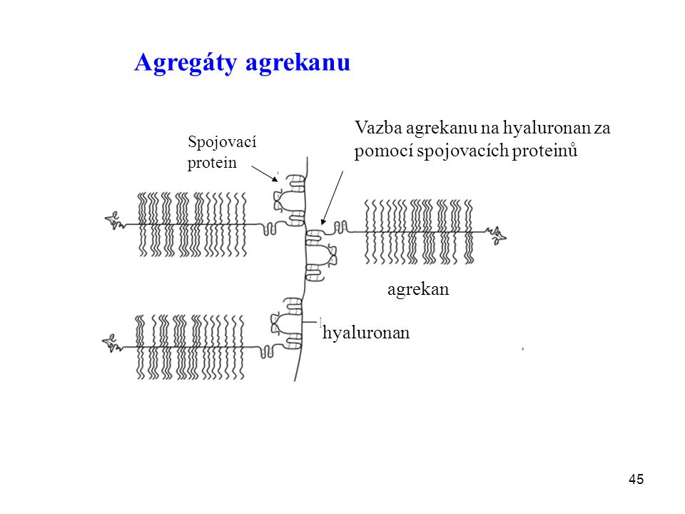 Agregáty agrekanu Vazba agrekanu na hyaluronan za pomocí spojovacích proteinů. Spojovací protein. agrekan.