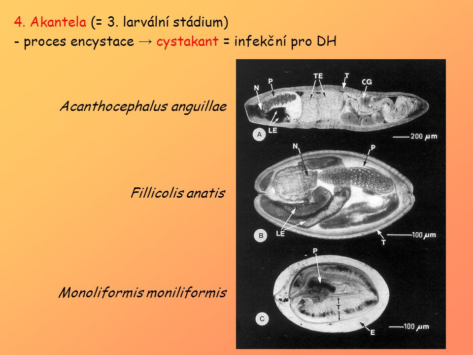 4. Akantela (= 3. larvální stádium)