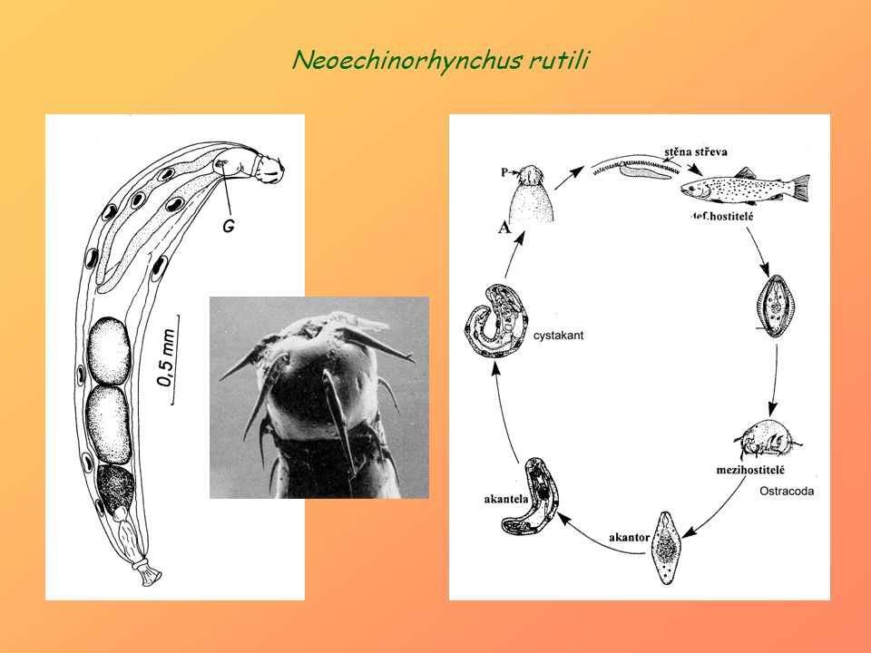 Neoechinorhynchus rutili