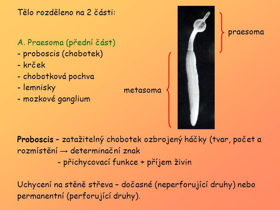Tělo rozděleno na 2 části: