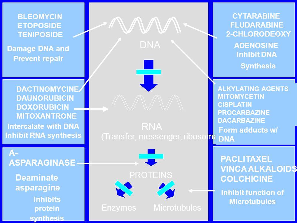 DNA RNA (Transfer, messenger, ribosomal) A-ASPARAGINASE PACLITAXEL