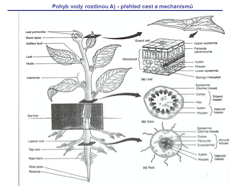 Pohyb vody rostlinou A) - přehled cest a mechanismů