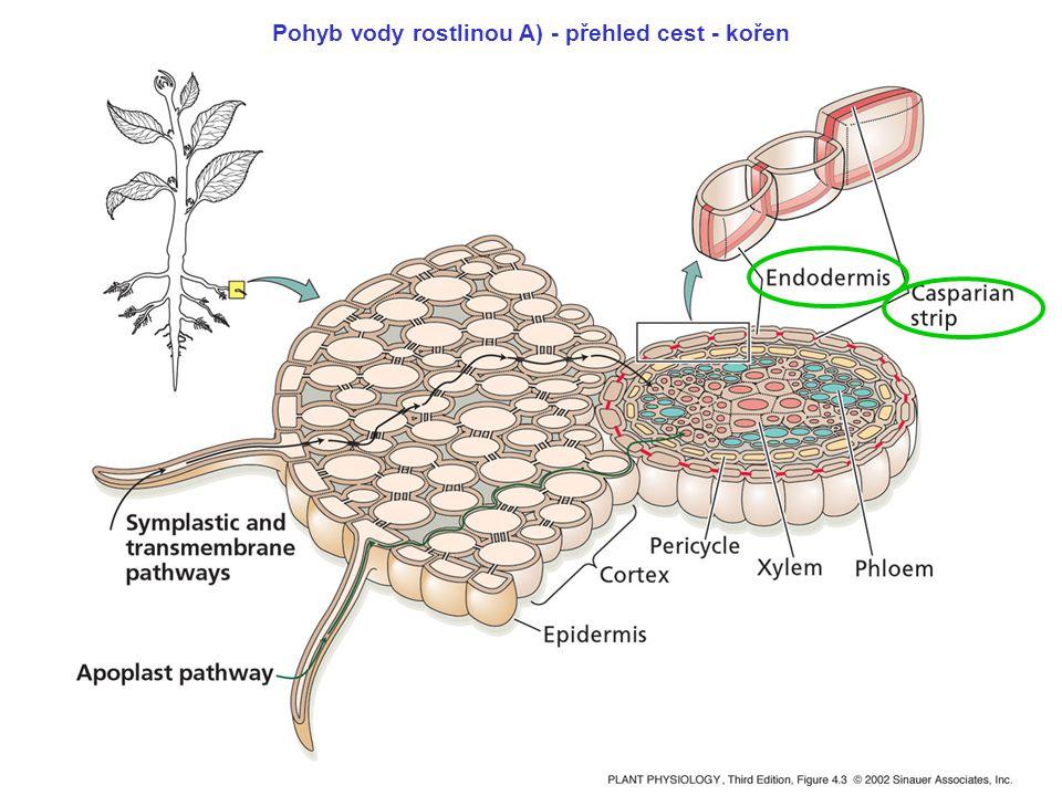 Pohyb vody rostlinou A) - přehled cest - kořen