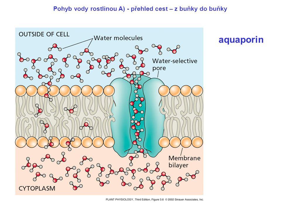 aquaporin Pohyb vody rostlinou A) - přehled cest – z buňky do buňky