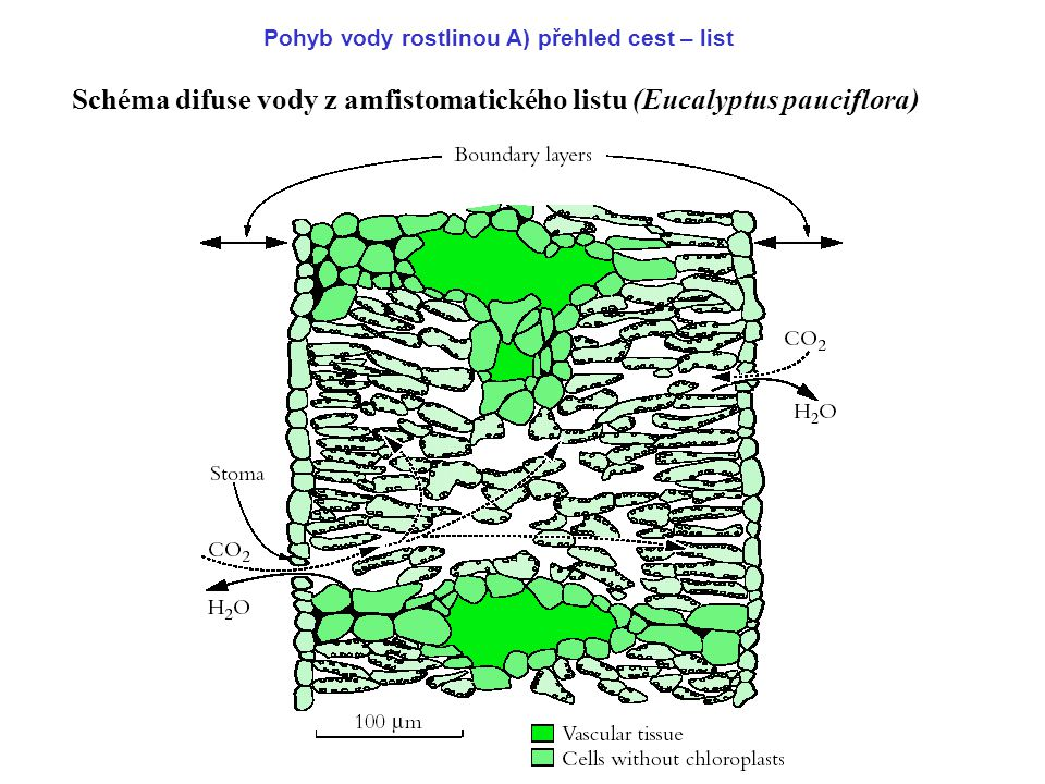 Schéma difuse vody z amfistomatického listu (Eucalyptus pauciflora)