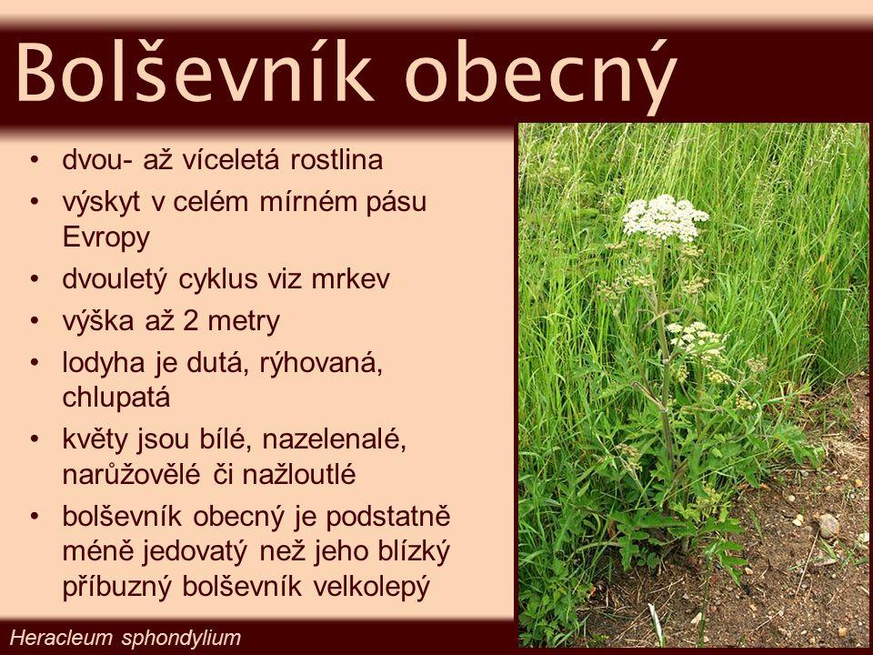Bolševník obecný dvou- až víceletá rostlina