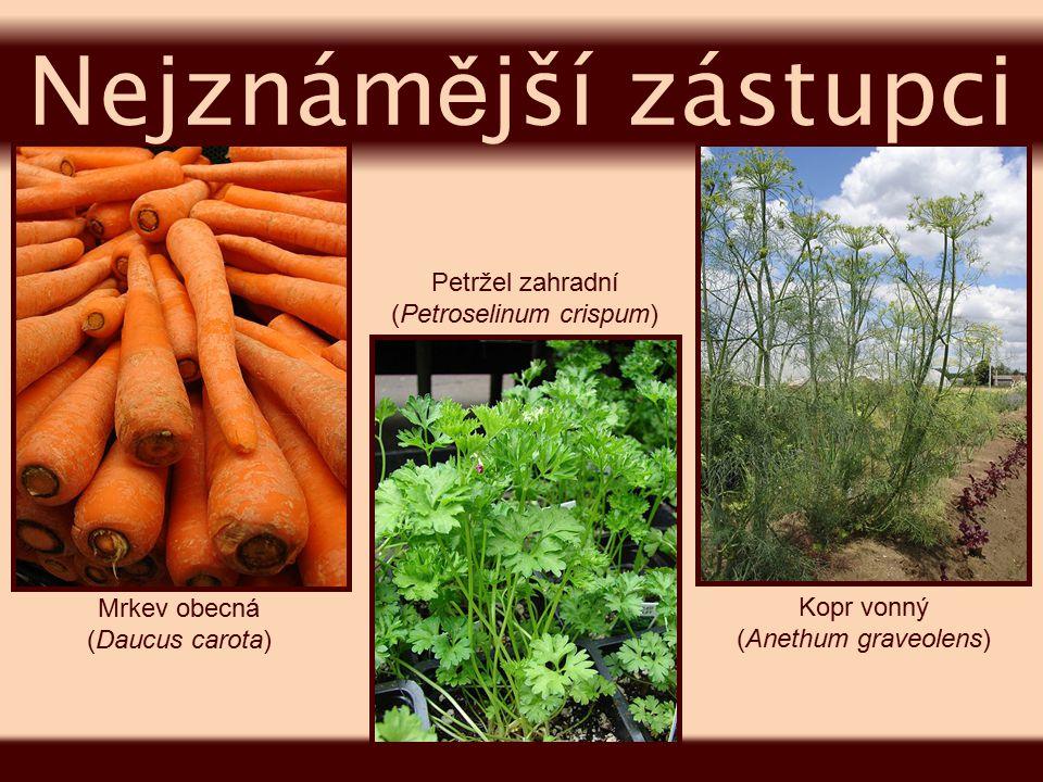 (Petroselinum crispum)