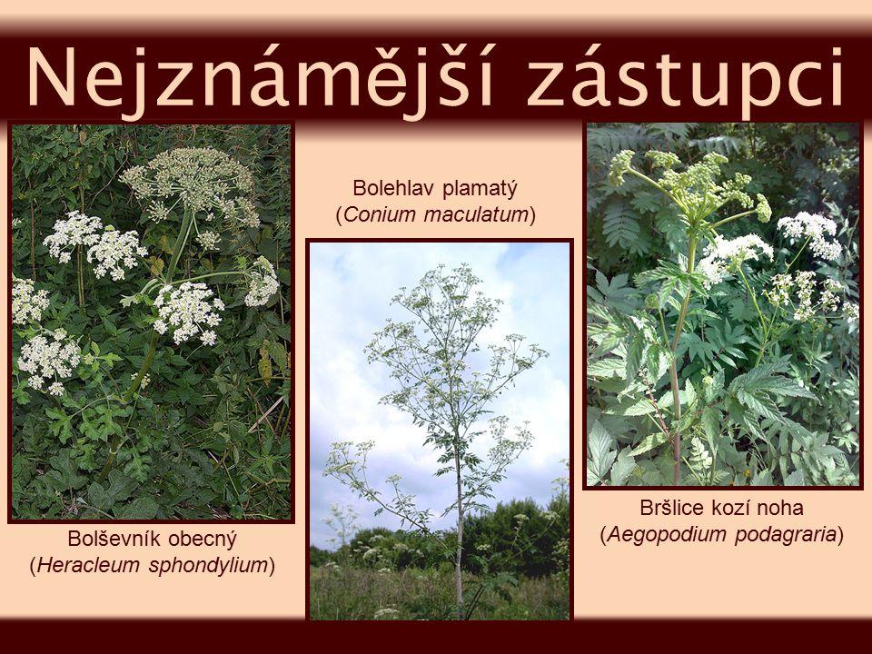 Nejznámější zástupci Bolehlav plamatý (Conium maculatum)
