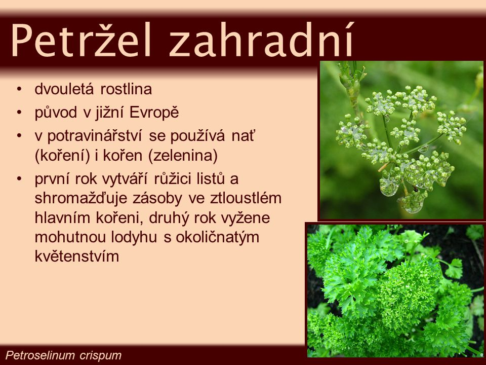 Petržel zahradní dvouletá rostlina původ v jižní Evropě
