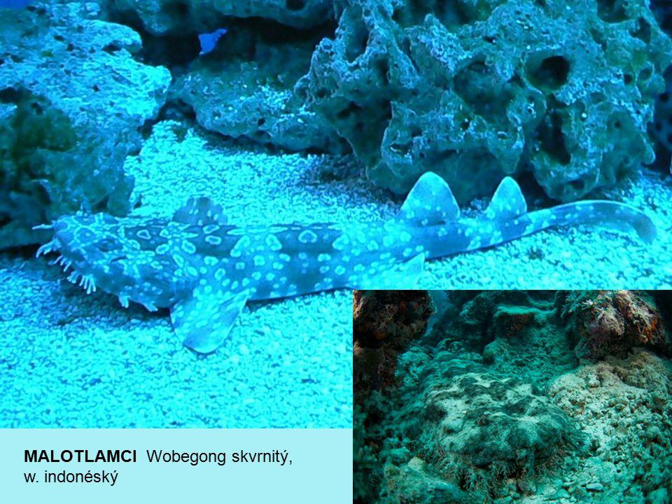 MALOTLAMCI Wobegong skvrnitý, w. indonéský
