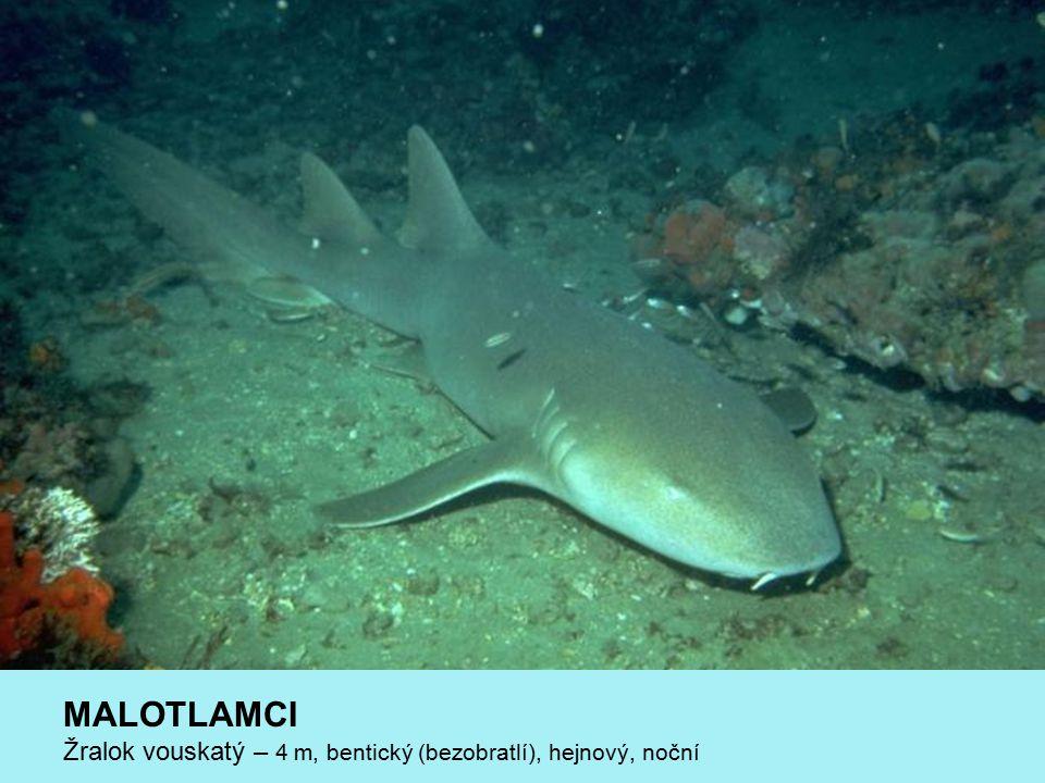 MALOTLAMCI Žralok vouskatý – 4 m, bentický (bezobratlí), hejnový, noční