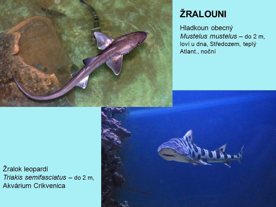 ŽRALOUNI Hladkoun obecný Mustelus mustelus – do 2 m, loví u dna, Středozem, teplý Atlant., noční.