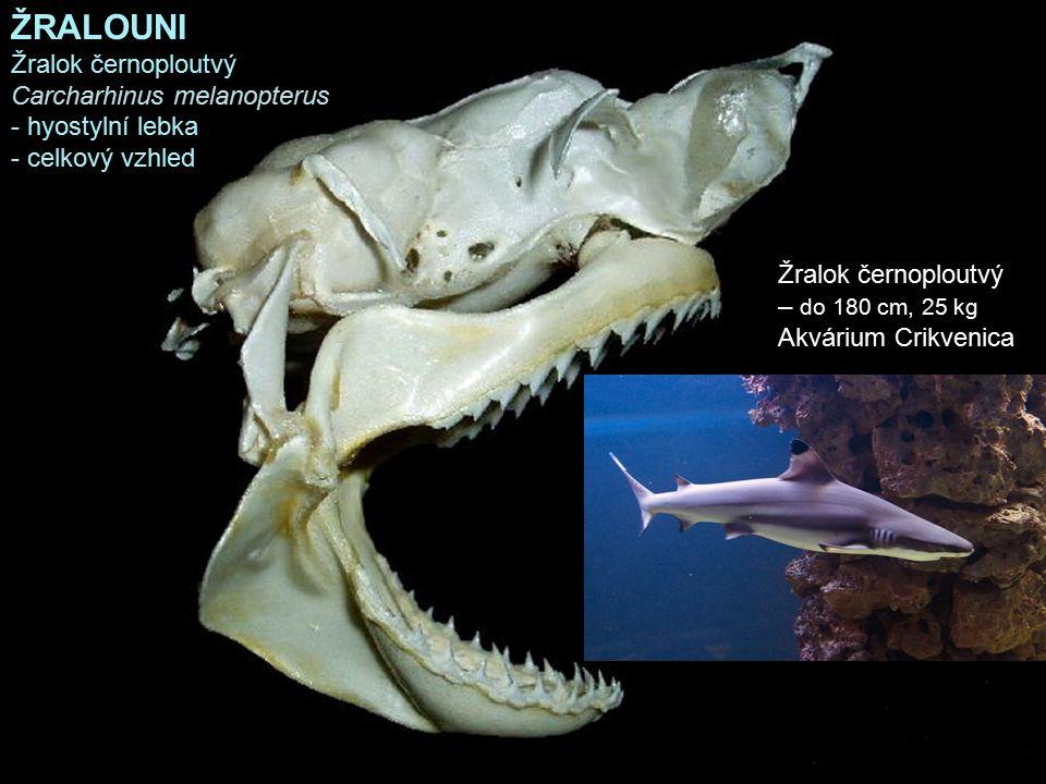 ŽRALOUNI Žralok černoploutvý Carcharhinus melanopterus - hyostylní lebka - celkový vzhled