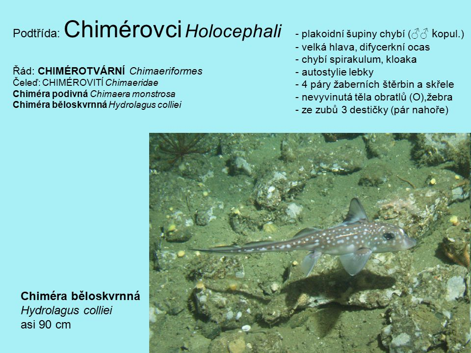 Podtřída: Chimérovci Holocephali