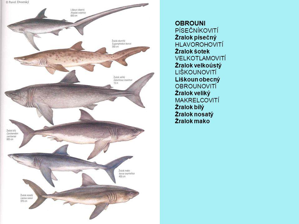 OBROUNI PÍSEČNÍKOVITÍ Žralok písečný HLAVOROHOVITÍ Žralok šotek