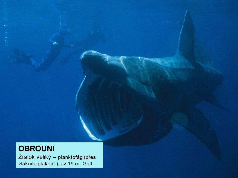 OBROUNI Žralok veliký – planktofág (přes vláknité plakoid
