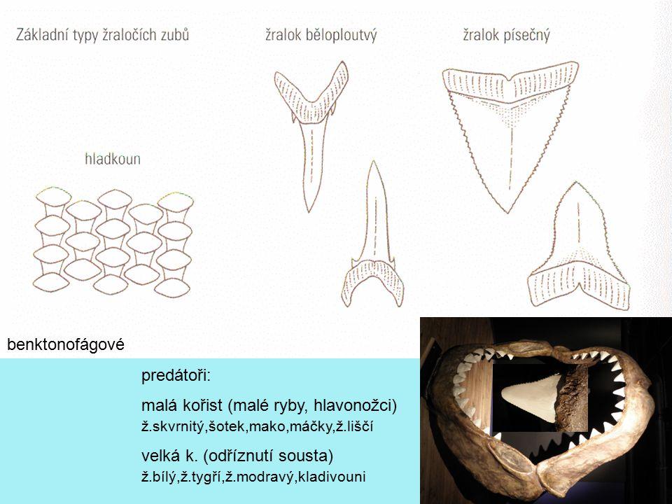 benktonofágové predátoři: malá kořist (malé ryby, hlavonožci) ž.skvrnitý,šotek,mako,máčky,ž.liščí.