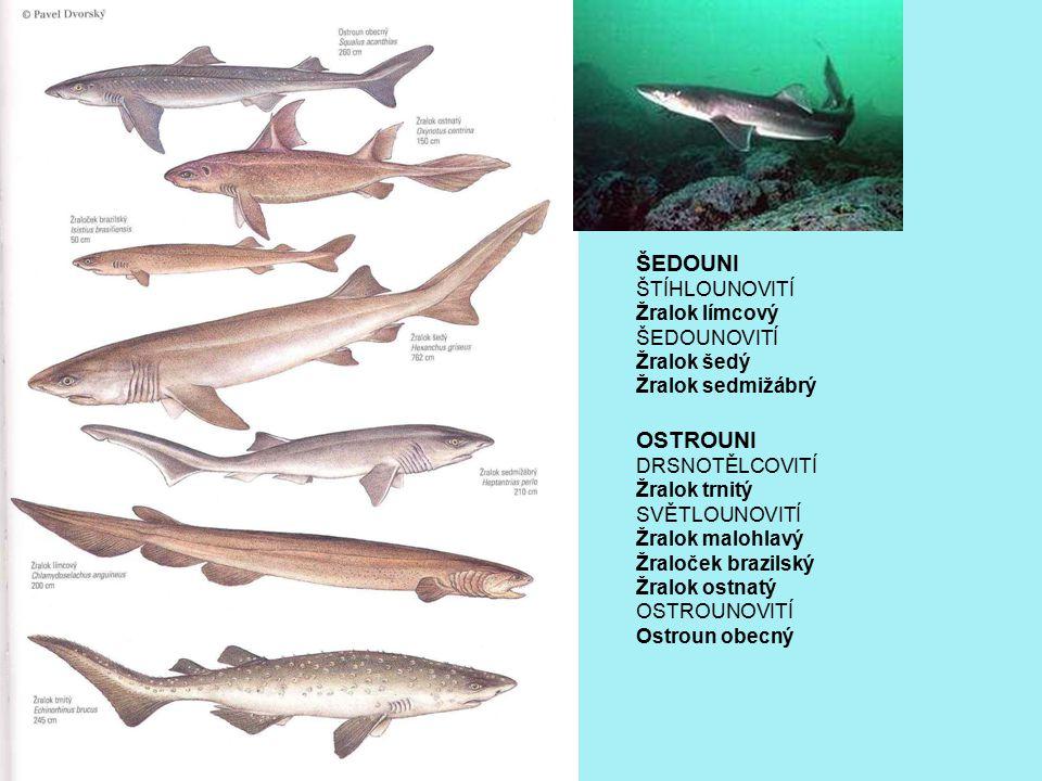 ŠEDOUNI OSTROUNI ŠTÍHLOUNOVITÍ Žralok límcový ŠEDOUNOVITÍ Žralok šedý