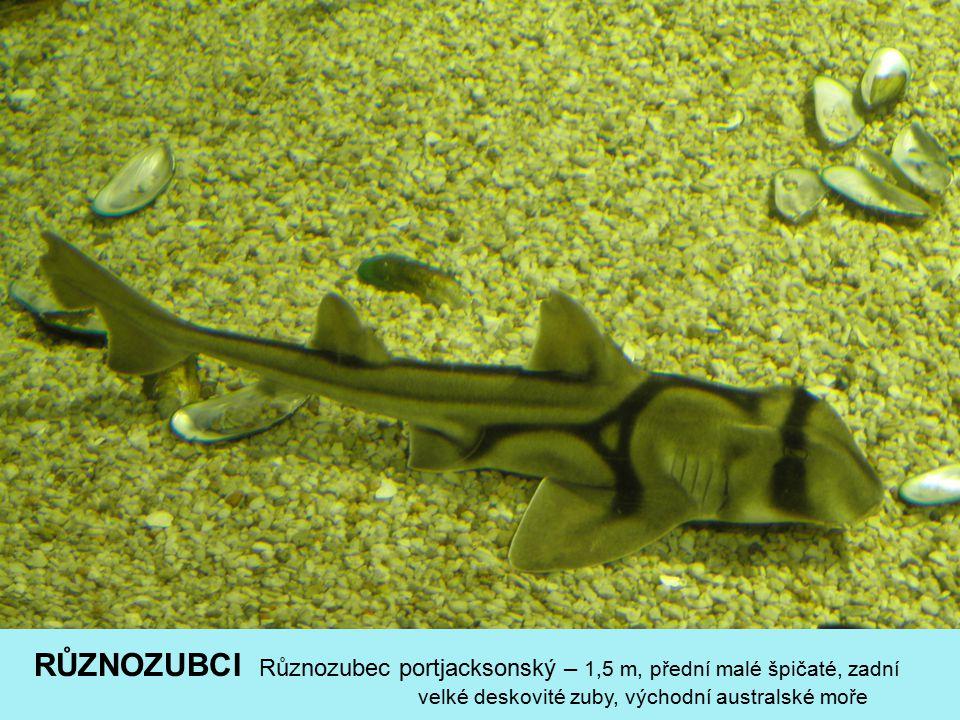 RŮZNOZUBCI Různozubec portjacksonský – 1,5 m, přední malé špičaté, zadní velké deskovité zuby, východní australské moře