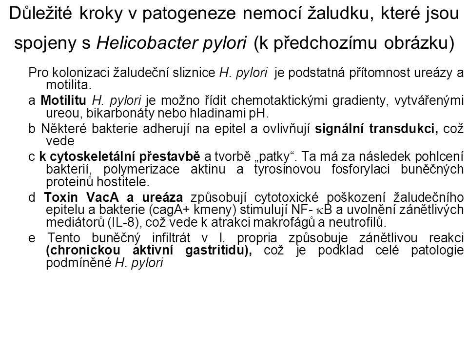 Důležité kroky v patogeneze nemocí žaludku, které jsou spojeny s Helicobacter pylori (k předchozímu obrázku)