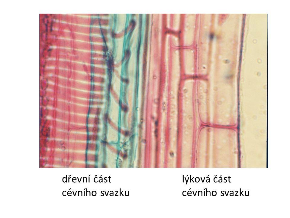 dřevní část cévního svazku