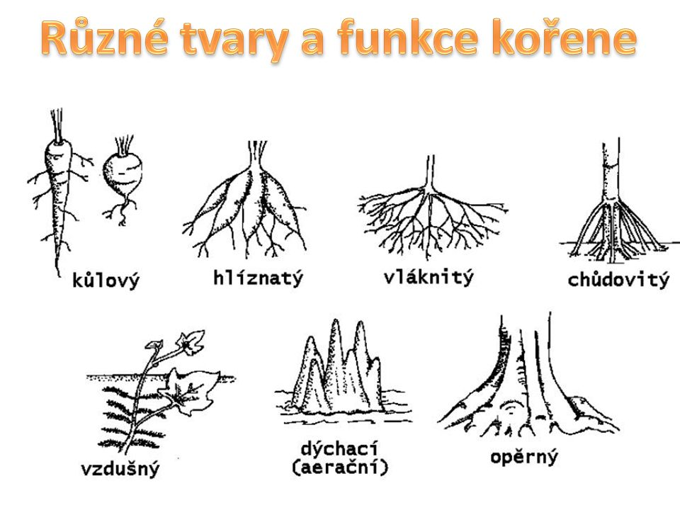 Různé tvary a funkce kořene