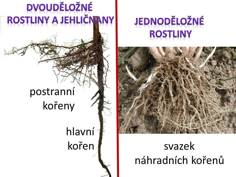 Dvouděložné rostliny a jehličnany jednoděložné rostliny