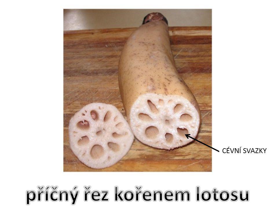 příčný řez kořenem lotosu